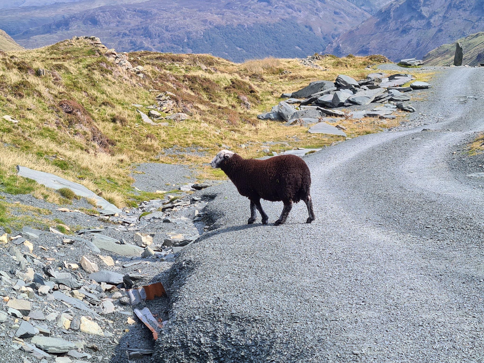 Herdy lamb at Honister in the Lake District