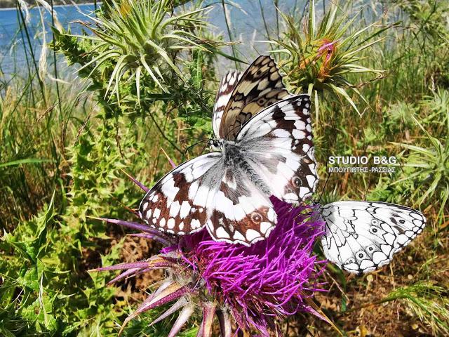 Εντυπωσιακές πεταλούδες στο Ναύπλιο - Ο μύθος της μιας ημέρας και ο συμβολισμός