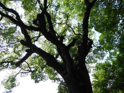 京都御苑・宗像神社 樹齢400年といわれる楠木のご神木