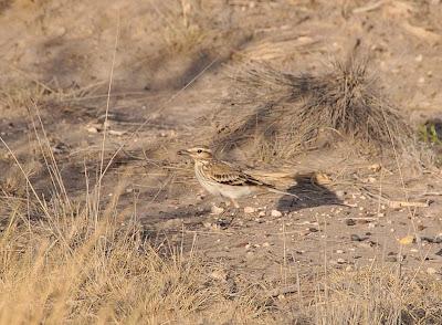 patagonian monjita birds