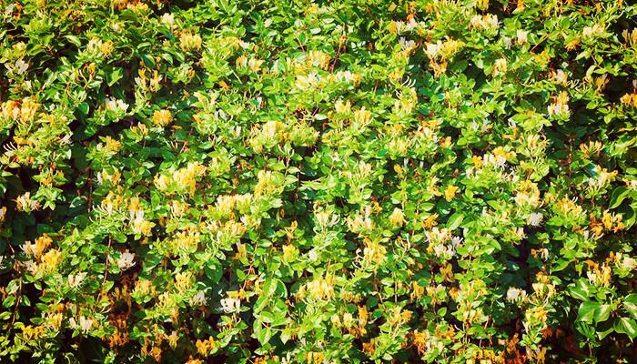 Plantas ornamentales para cerco