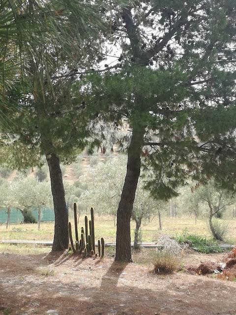 krajobraz Sycylii, kaktusy i pinie