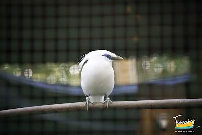 Bali Sterling, el ave en peligro de extinción protegida por el proyecto
