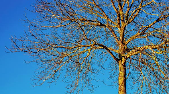 Pruning deciduous tree species during dormancy in late fall or early winter