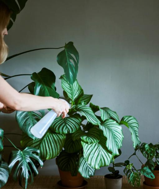 Cara Penjagaan Pokok Indoor