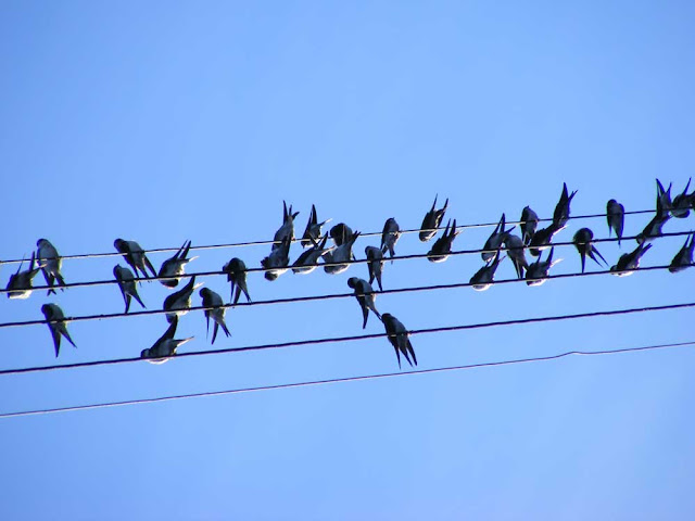 Juvenile swallows gathering on electricity wires prior to migrating. Indre et Loire. France. Photo by Loire Valley Time Travel.