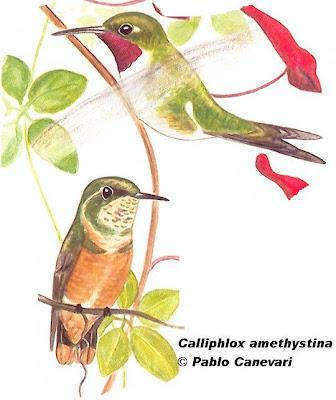 aves argentinas Picaflor amatista Calliphlox amethystina