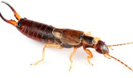 How to Eradicate Earwigs - An Overview