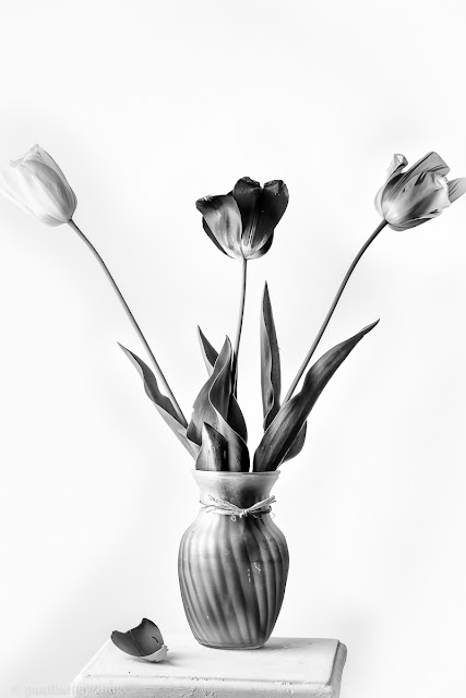theartdiary photography: Tulip series version 12a....black