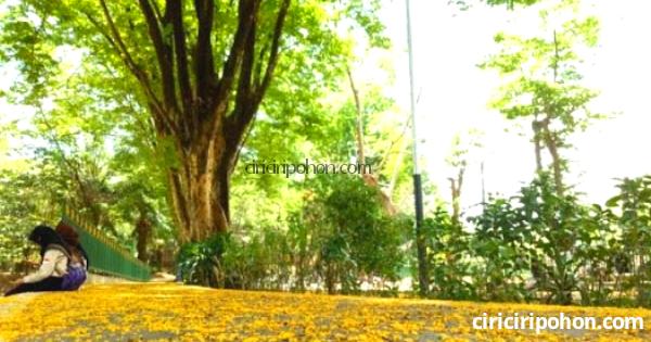 Ciri Ciri Pohon Angsana