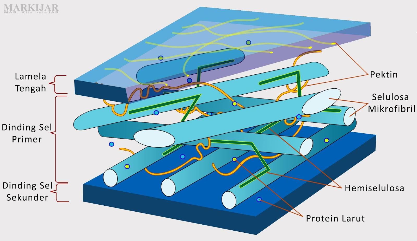 Fungsi Dinding Sel pada Sel Tumbuhan Beserta Penjelasannya
