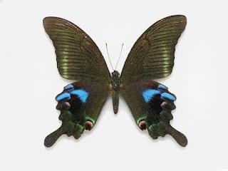 Papilio arcturus