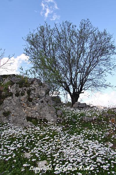 Kefalonia Springtime daisies