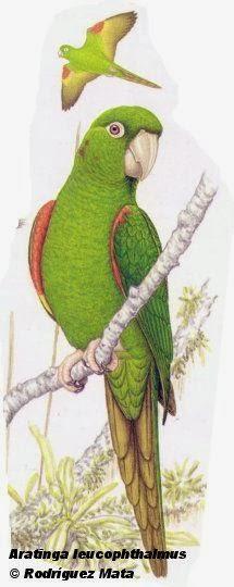 Calcanate ala roja: Psittacara leucophthalmus