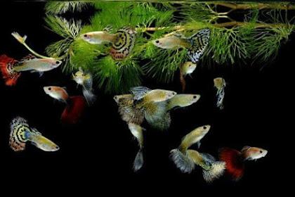 Tips Sebelum Memelihara Ikan Guppy... Wajib Baca!