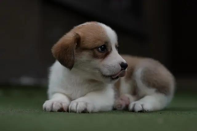 Cachorro de color blanco con manchas de color café sobre pasto artificial