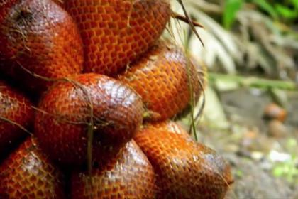 Agrowisata Salak Pondoh, Siak Riau