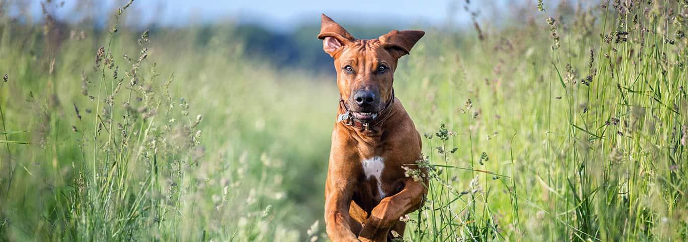 Dog breed of Rhodesian ridgeback