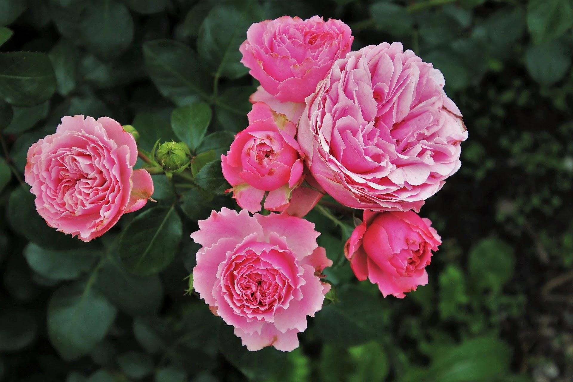 صورة وردة وردة جميلة