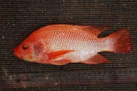 Cara Buat Pelet Ikan Nila Sendiri
