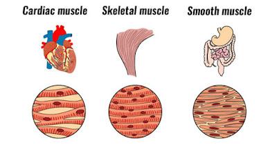 types of connective tissue (انواع الانسجة الضامة)