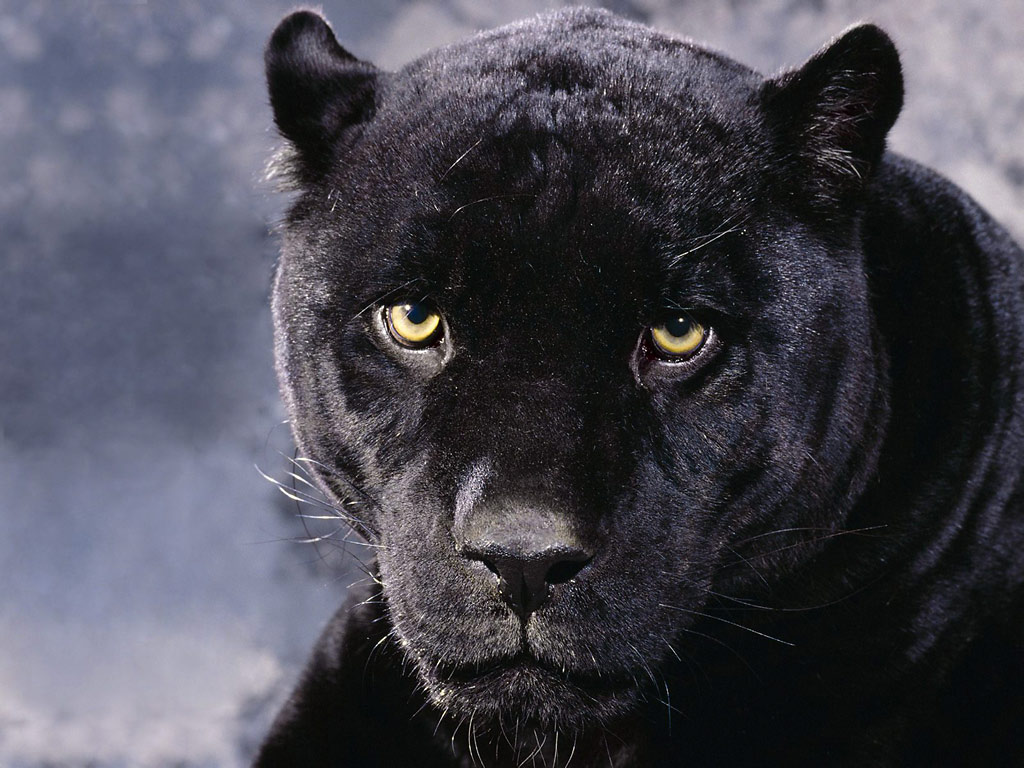 Animals zoo park black panther wallpapers animals hq - Animal black background wallpaper ...