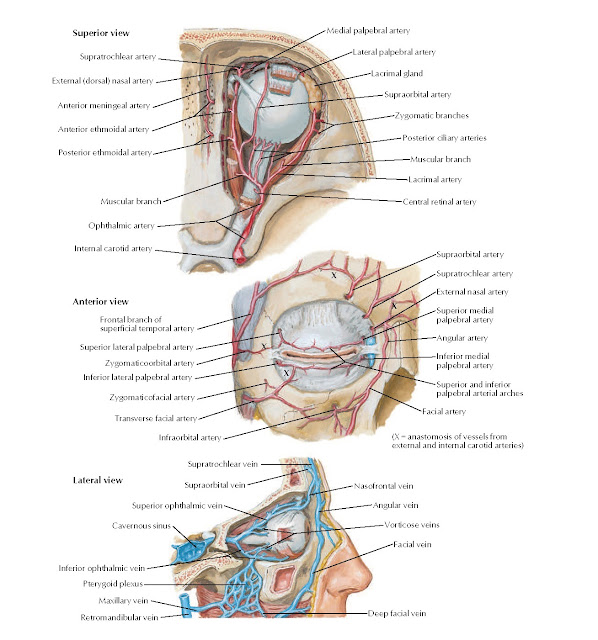 Arteries and Veins of Orbit and Eyelids Anatomy