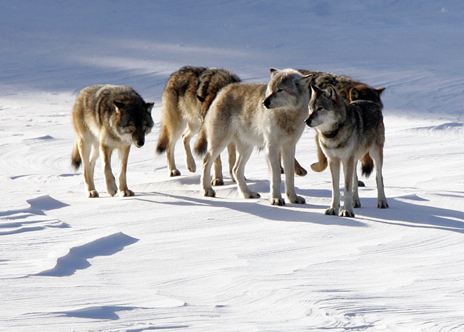 White Wolf : Saving the wolves: Michigan Indians fight wolf hunt
