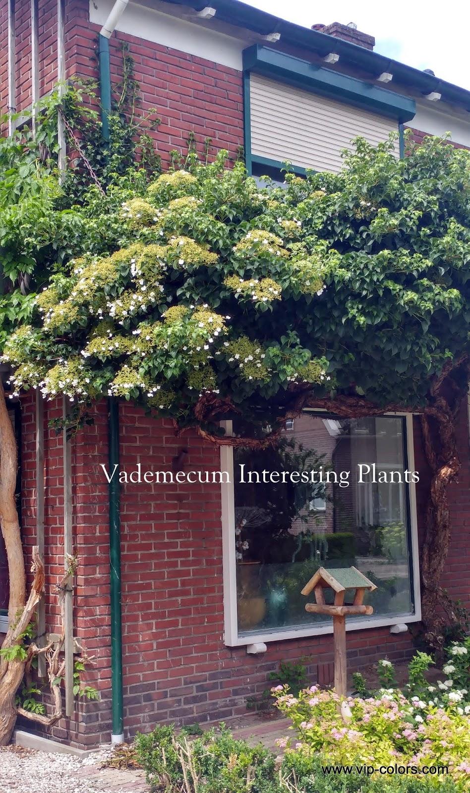 Vademecum Interesting Plants Hydrangea Anomala Subsp Petiolaris