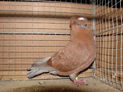 fancy trumpeter pigeons