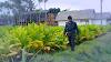 Gagal Ekspor, Petani Tembakau Lumajang 'Menjerit'