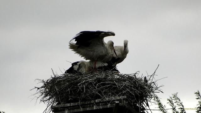 Ooievaars in een ooievaars nest