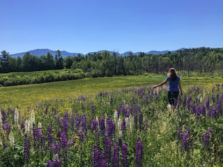 Walking through lupines across from Polly's Pancake Parlor in Sugar Hill, NH.