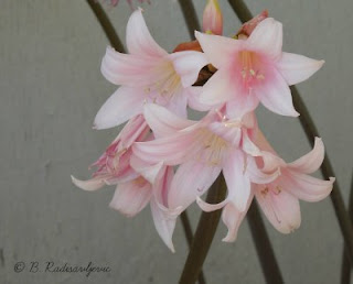 """Naked Ladies"" Bloom in August"