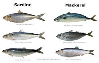 Perbedaan antara Ikan Sarden dan Ikan Makarel