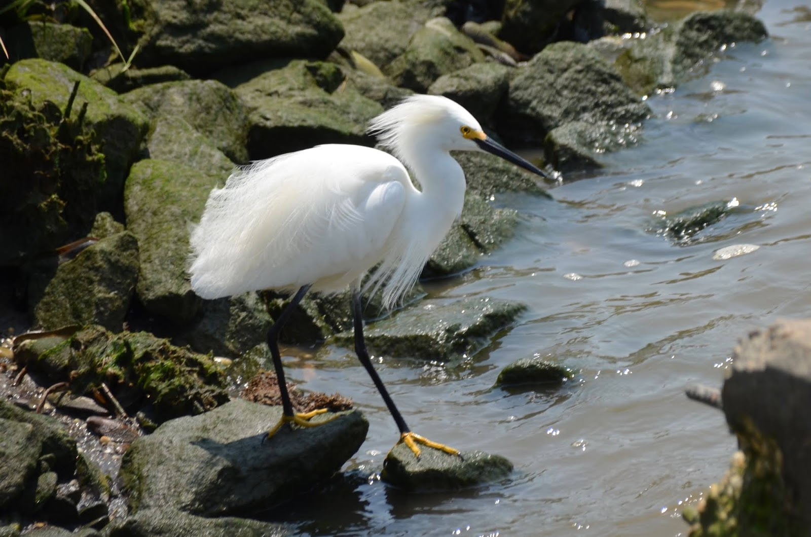 Feisty Egrets
