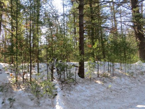 sun through white pines