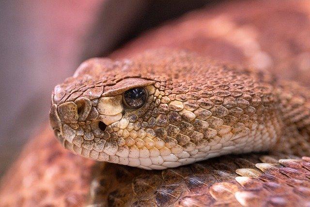 https://www.bioorbis.org/2020/01/qual-funcao-fosseta-loreal-serpente-venenosa.html