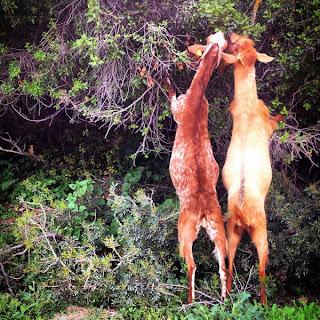 Las cabras son muy importantes para el campo comiendo un poco de cada planta las cabras  garantizan el nacimiento de brotes nuevos,  su estiércol fertiliza la tierra y las semillas  se esparcen por el bosque asegurando  la diversidad genética.