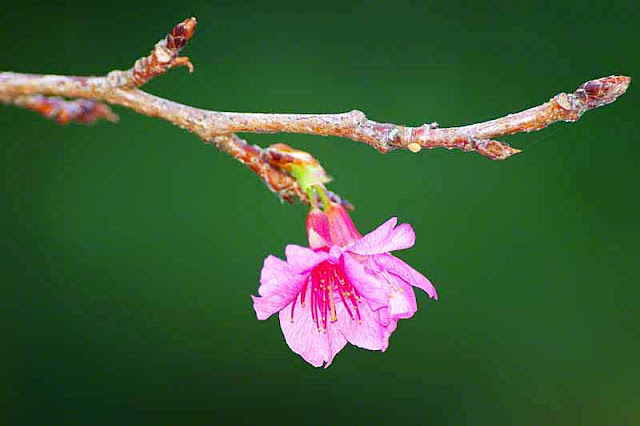 branch, stem, flower,  bud, cherry blossom