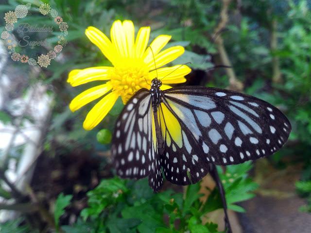 Butterfly Farm Cameron Highland | Jinaknya Rama-rama Kat Sini!
