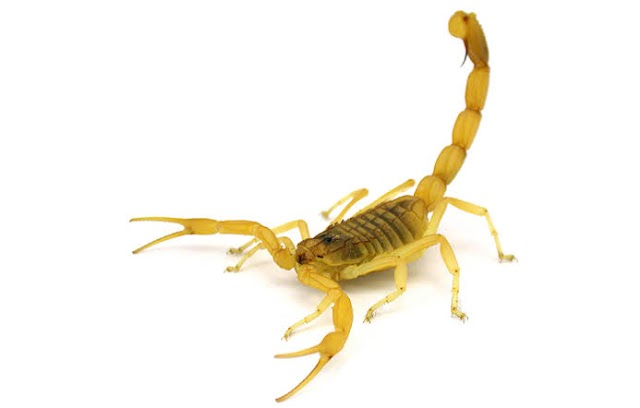 Scorpion Toxin and Mystery of Chronic Pain