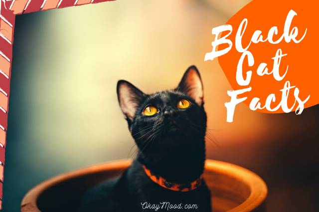 Black Cat Facts: Discover Best 16 Facts That You Don't Know Before About Black Cats- Okaymood