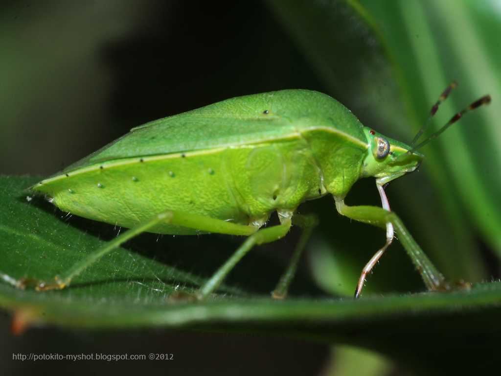 Green Vegetable Bug (Nezara sp)