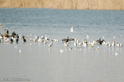 Corbs marins, gavines i gavians al riu Llobregat