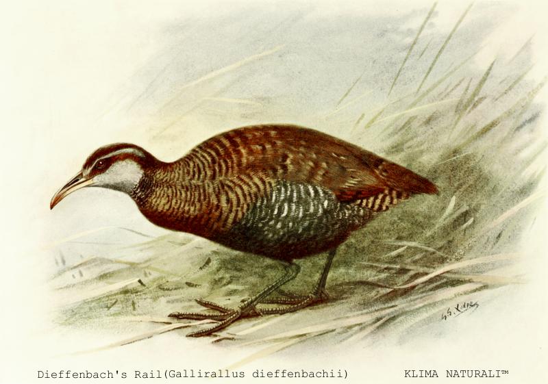 Dieffenbach's Rail (Gallirallus dieffenbachii)