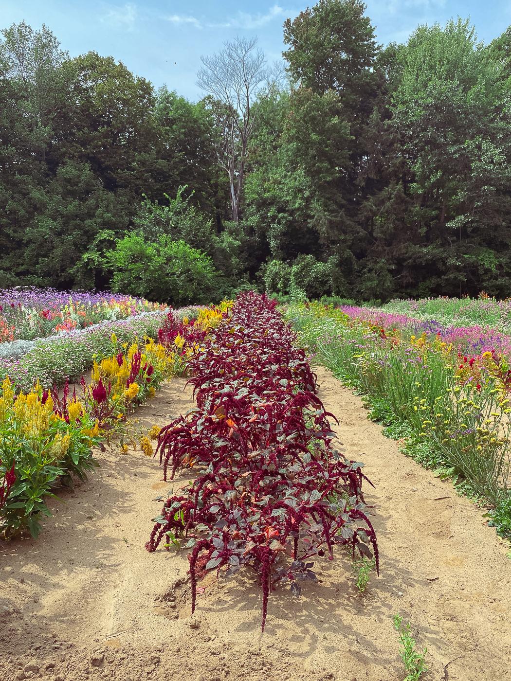 Maroon amaranth, summer garden flowers, blooming flowers, summer flowers that bloom