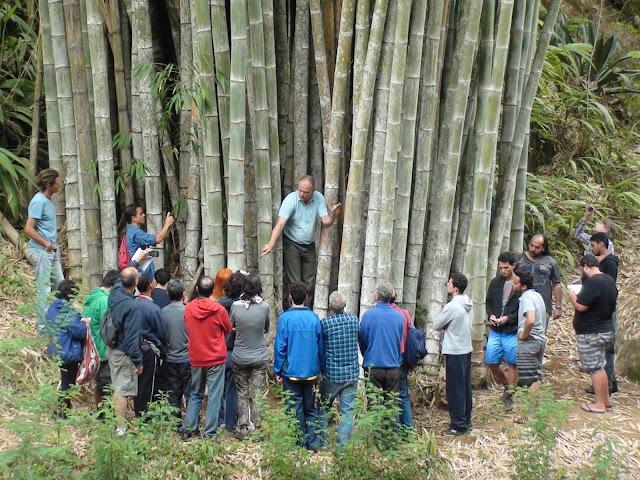 tanaman Bambu betung