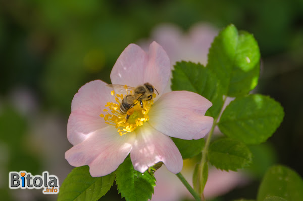 Honey bee on a Dog-rose (Rosa canina) plant