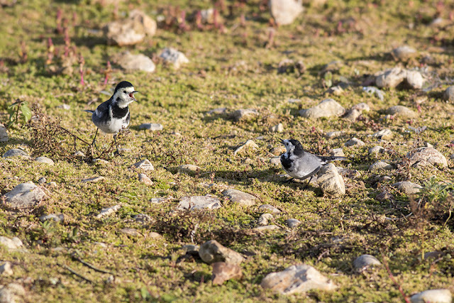 Pied Wagtails squabbling
